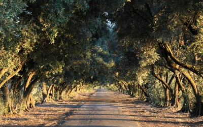 Olive Tree Lane, Davis, California